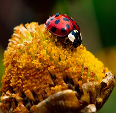 Joaninhas carregada de orvalho 😊 (Paulo Mattes) Tags: joaninha macro inseto instagram insects insect insetos closeup close natgeo naturelovers natureza nature gotas gota rainox