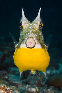 Longhorn cowfish - Lactoria cornuta