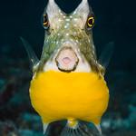 Longhorn cowfish - Lactoria cornuta thumbnail