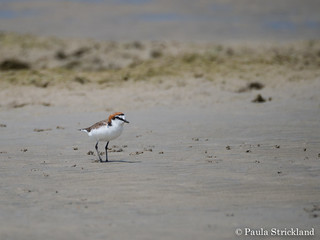 Red-capped Plover - Charadrius ruficapillus