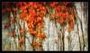 OCTOBER (OCTOBRE) (PATRICE OUELLET (OFF)) Tags: patricephotographiste octobre october impressionniste impressionism orange autumn automne couleurs
