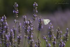 Pretty In White (martinaschneider) Tags: lavender lavenderfarm lavenderrows butterfly cabbagewhite ontario farm summer