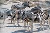 Zebras (Guy Goetzinger) Tags: tiere zebras mammal animal zèbre zebra safari africa etosha wildlife nature wild nikon goetzinger savanne steppe namibia zebre afrika tier säugetier afrique namibie travel voyage natinal park 2018 живо́тное 动物 動物 dòngwù bete