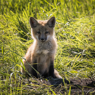 Red Fox - Pup or Kit