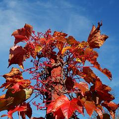 Colores otoñales - Autumn colors (nuska2008) Tags: nuska2008 nanebotas otoño enredadera nubes clouds naturaleza flickr olympussz30mr hojas coloridootoñal somió gijón asturias cieloazul octubre viga