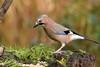 Eurasion Jay (david.england18) Tags: eurasionjay jay smallbirds various tits blue great coal localpark queensparkheywood canon7d canon300mmf4lisusm birdsuk