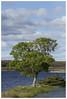 tree (falkirk gold) Tags: scottishloch highlands