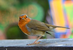 Inquisitive Robin (Eleanor (No multiple invites please)) Tags: robin havenstreetstation ryde iow england uk nikond7100 october2017