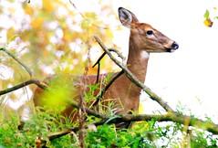 white-tailed deer doe at Lake Meyer Park IA (lreis_naturalist) Tags: whitetailed deer doe lake meyer park winneshiek county iowa larry reis