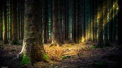 Trees (YᗩSᗰIᘉᗴ HᗴᘉS +9 500 000 thx❀) Tags: trees bois forest belgium europa nature green sun sunlight courrière