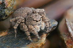 big mama (Olaf Traumflieger) Tags: asianellusfestivus springspinne jumpingspider portugal