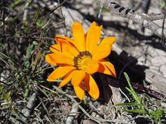 P9160073 West Coast National Park Flowers (Joanna P Dale) Tags: westcoastnationalpark flowers southafrica omdem1 mk1 olympus 35mmzuiko 35mmmacro