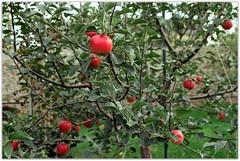 Apples (Ігор Кириловський) Tags: apples khmelnytski ukraine slr nikonf5 af zoomnikkor 28105mmf3545d film kodak colorplus200 promaster spectrum 7uv c41 nikon f5