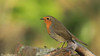 rougegorge familier - Erithacus rubecula - European Robin (Bruno Chambrelent) Tags: rougegorge familier erithacus rubecula european robin