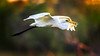 20171004-050b-Kununurra Sunrise Walk-Flickr.jpg (Brian Dean) Tags: wa greategret caravaning slideshow fish 2017tour kimberleyland facebook kununurra flickr birds natnaturetrophy austgeo natnaturetrophyforprojectedimages