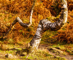 Odd couple (Photos And All That) Tags: tree trees shape form echo birch birches silverbirch silverbirches canon canon5dmarkii canoneos 5d colour colours autumn autumncolours nature shaped distorted odd couple countryside hillside derbyshire surpriseview