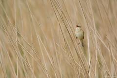 Phragmite des joncs (Pierana) Tags: nature oiseau bird animal baie de somme phragmite des joncs nikon d7100 tamron sp 150600