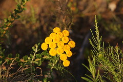 Hartebeesrivier 2017 (htbsrvr) Tags: flower tansy common yarrow flowering plant subshrub flora
