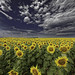Field+of+sunflowers