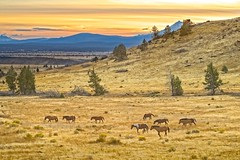 Warm Springs Wild Horses at Sunset 4051 E (jim.choate59) Tags: horses wildhorses sunset mtjefferson oregon landscape scenic americanwest herd simnashooregon warmspringsoregon on1pic d610