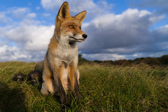 Graceful Fox (Geert Rooyackers) Tags: sonya7rii a7rii vos redfox fox