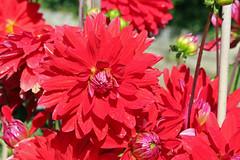 Dahlia 'Red Royal Diana' - Decorative Dahlia - BG Berlin (Ruud de Block) Tags: berlinbotanicalgarden botanischergartenberlin asteraceae compositae dahliaredroyaldiana todod ruuddeblock