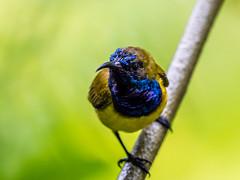 20171007-EM125888 (shutterblades) Tags: birds olivebackedsunbird olympusem1mkii olympusmzuiko300mmf4pro14tc riversafari singaporezoo