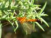 Enicospilus ramidulus Ichneumon (cawthraw) Tags: rspb labradorbay devon enicospilusramidulus ichneumon