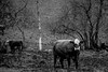 DSC_8883 (Maryna Beliauskaya) Tags: cow norway animal tree grass field blackandwhite scandic autumn