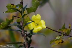 Scatti autunnali.. (paolotrapella) Tags: autunno fiori giallo yellow natura tamron70300vc canon