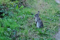 DSCF5608 (mar.colla) Tags: alzaia adige coniglio