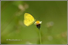 7278 - common  grass yellow (chandrasekaran a 50 lakhs views Thanks to all.) Tags: commongrassyellow butterfly insects india tamilnadu kallar tamronsp150600mmg2 tridax flowers