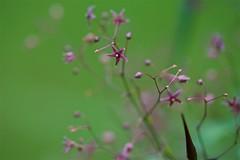 コカモメヅル Tylophora floribunda (takapata) Tags: sony sel90m28g ilce7m2 macro flower nature