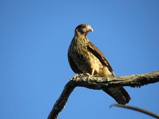Gavião, Falcão – Hawk