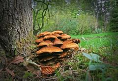 IMG_0614 (bob_rmg) Tags: perrow arboretum tree autumn colour leaves bedale thorp fungi wood