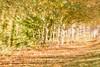 Interpretations on a theme 3 (alanrharris53) Tags: hindleysschool trees autumn leaf leaves interpretation variation shepshed 2017 zoomburst zoom burst