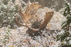 Moose bull laying in the brush
