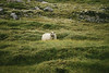 Keen observer (desomnis) Tags: iceland island sheep green field grass seydisfjordur travel traveling europe europa dof hiking animals animal schaf canon 6d canon6d travelphotography desomnis greenfield 70300mm canonef70300mmf456isiiusm canon70300mm fauna