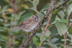 Lincoln's Sparrow (Joe Branco) Tags: wildlifephotography joebrancophotography photoshopcc2017 nikond500 nikon branco joe songbirds birds wildlife lincoln'ssparrow green lincolns sparrow