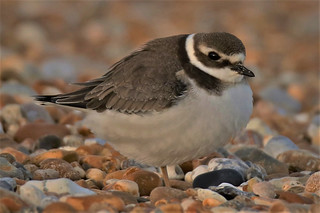 Ringed Plover  Juvenile (Greater Ringed Plover) Charadrius hiaticula