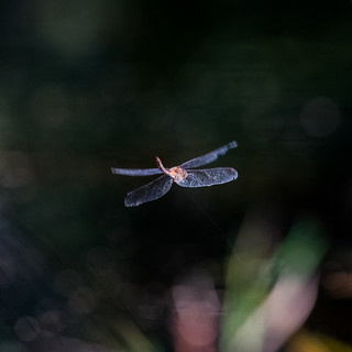 Tethered Dragonfly