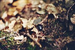 Mistkäfer im Herbstlaub (ansehen) Tags: käfer bug insekt beetle dung analog herbst autumn laub blätter nahaufnahme mistkäfer bunt