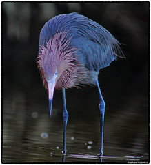 Reddish Egret looking for minnows (RKop) Tags: 600mmf4apogminolta a77mk2 raphaelkopanphotography florida sony