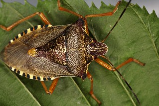 Pentatoma rufipes, le pentatome à pattes rousses, the red-legged shieldbug.