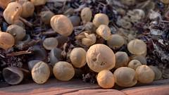 Las Pelotas (João Ebone) Tags: bolas pelotas bolinhas praia playa beach la balconada paloma uruguay uruguai marinho vida marinha live marine