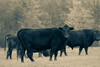 The Herd (dana.ny) Tags: abstract cow cattle angus beef farming agriculture autumn bovine