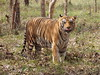 P1013435 (tristigramine) Tags: india karnataka shimoga wildlife sanctuary bengal tiger hello tongue big cat forest индия бенгальскийтигр тигр здоровокотярра покажи язык