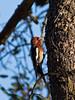 Red-breasted Sapsucker (bobandcarol71661) Tags: redbreastedsapsuckerphototakeninstallionsprings tehachapi california redbreastedsapsucker redbreasted sapsucker red breasted