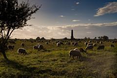 20171003_1603_ILCE-7_Pentax_K_55_18_12 (michael_obst) Tags: germany brandenburg havelland landscape animal sheep pentax k 55mm heather döberitzer heide