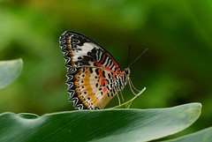 Leopard Lacewing --- Cethosia cyane (creaturesnapper) Tags: singapore asia lepidoptera butterflies nymphalidae insects leopardlacewing cethosiacyane